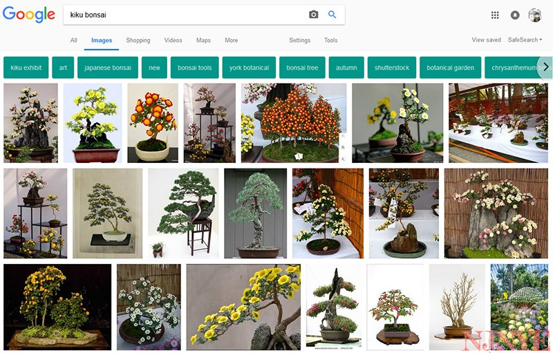 Kiku (crisantemo) bonsai su Google Images